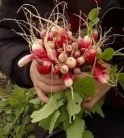 bouquet_radis